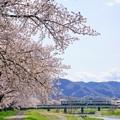 Photos: こだま千本桜とキハ110系その1