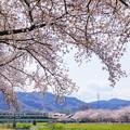 Photos: こだま千本桜とキハ110系その2