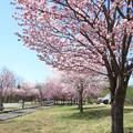写真: 櫻之並木