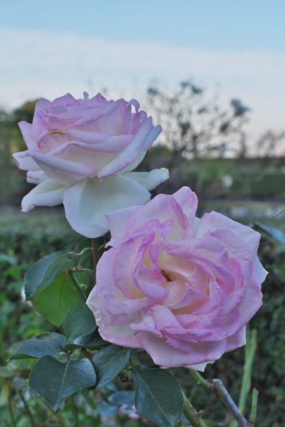 山下公園の薔薇園よりその2