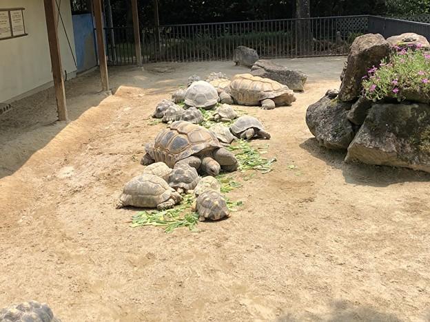 安佐動物園のリクガメ
