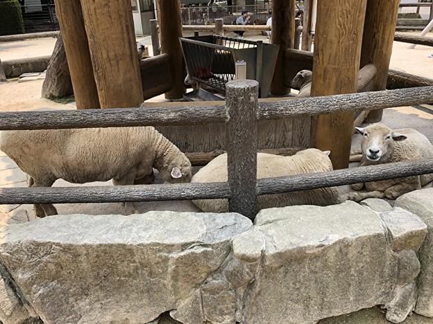 安佐動物園の羊