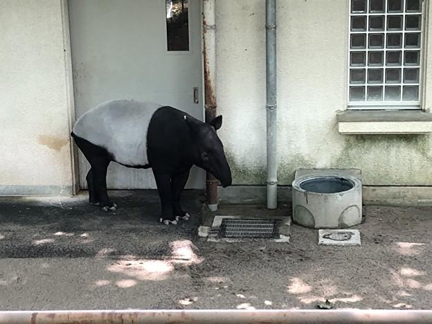 安佐動物園のマレーバク