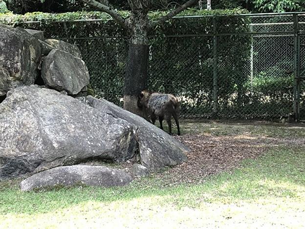 安佐動物園のニホンカモシカ