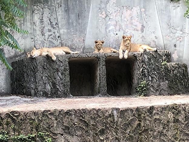安佐動物園のライオン
