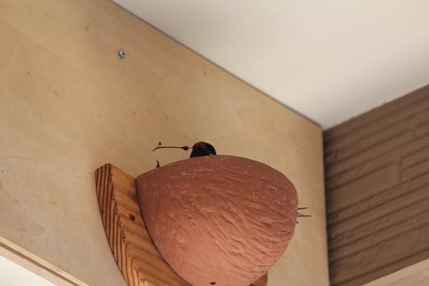 写真: 巣作り開始