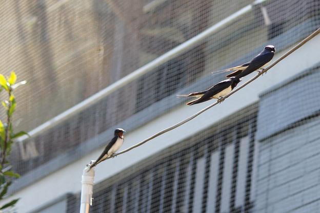 写真: あら、三羽