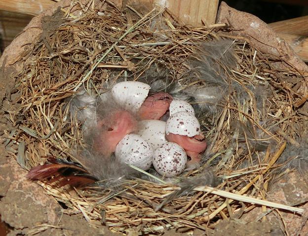 写真: 三羽誕生