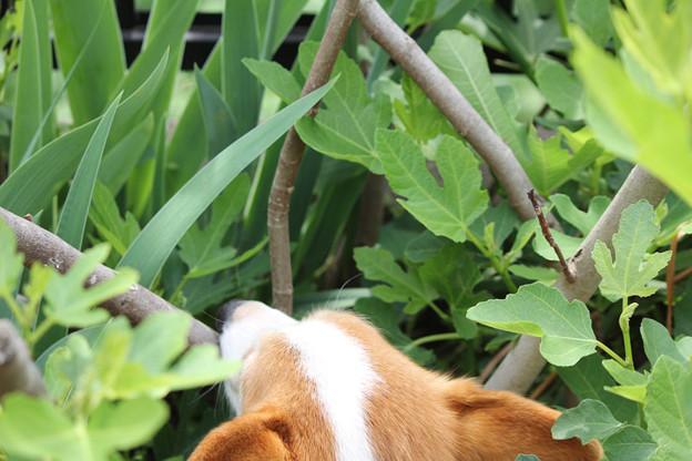 写真: いちじくの葉っぱを食べるココア