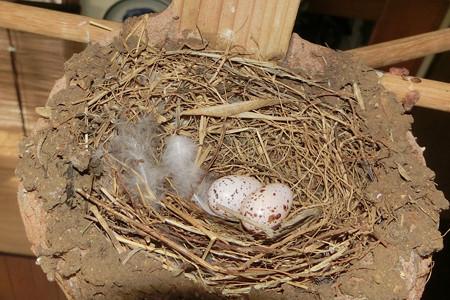 2個目の産卵