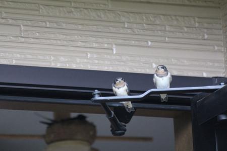 2羽さん巣立ち