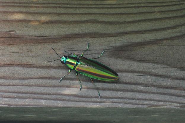 写真: 玉虫