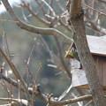シジュウカラの巣作り