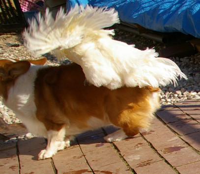 ウコッケイをおんぶしちゃった犬