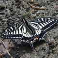 写真: アゲハ蝶