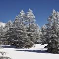 白い木立1