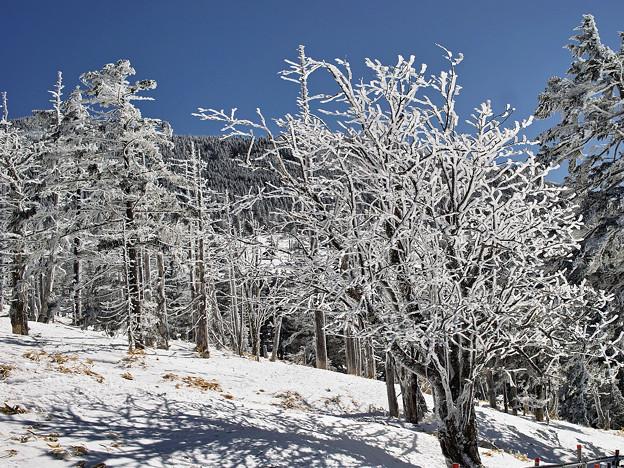 白い木立3