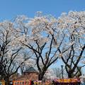 まばらな桜