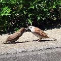 写真: 雀の親子