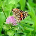 写真: タテハ蝶