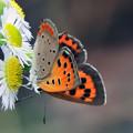 写真: 赤い蝶
