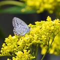 黄色い花と蝶