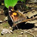 写真: 落ち葉みたいな蝶