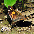 Photos: 落ち葉みたいな蝶