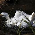 Photos: ダイサギ