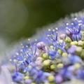 これも紫陽花