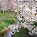 Photos: 『チシマ桜』DSC00111