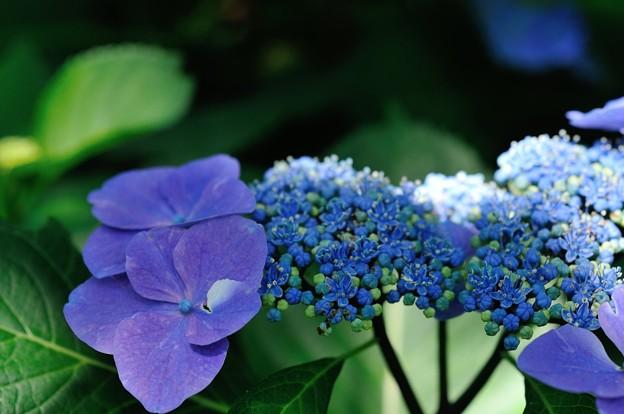 【紫陽花:ソフティ】(3)