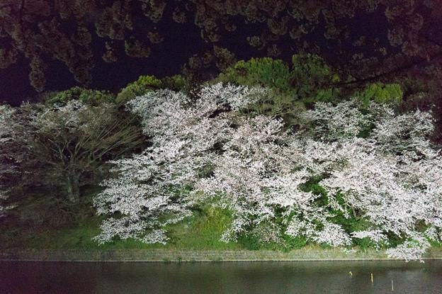 【千鳥ヶ淵の夜桜】4