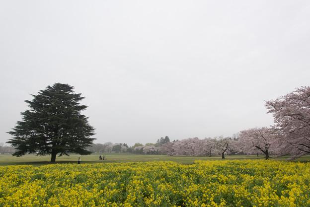昭和記念公園【みんなの原っぱ東花畑】1