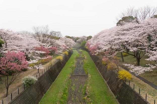 昭和記念公園【さくら橋付近】1