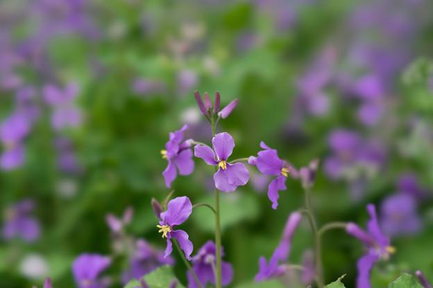 昭和記念公園【桜の園の紫花菜】4