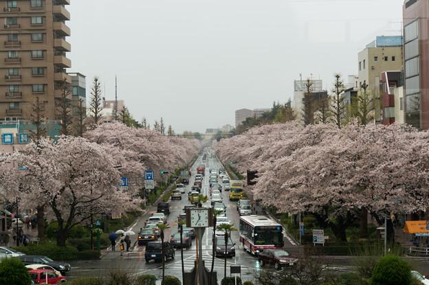 【国立の桜並木】1