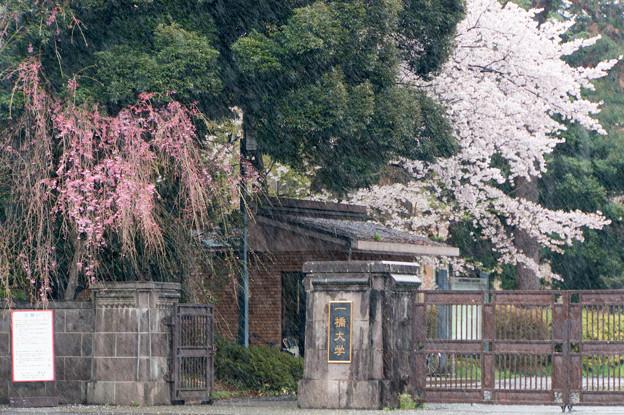 【一橋大学の桜】1