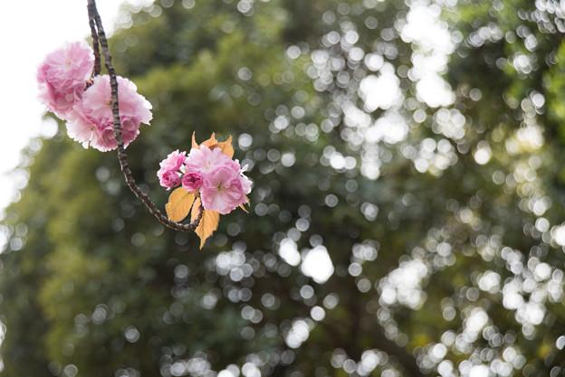 新宿御苑【桜:関山】5