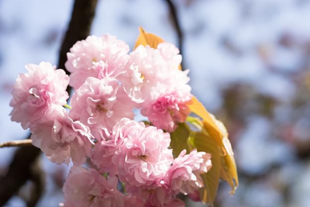 新宿御苑【桜:妹背】4