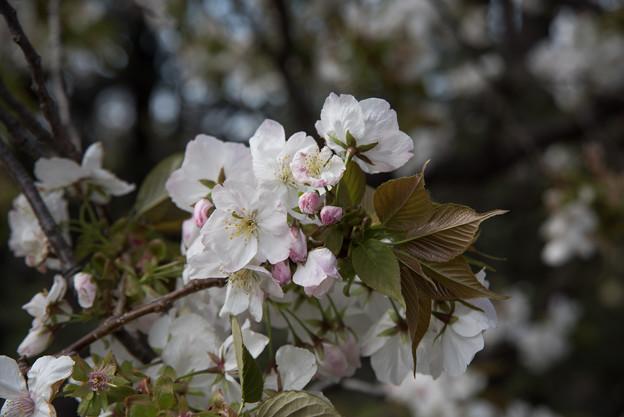 新宿御苑【桜:白雪】4