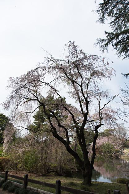 Photos: 新宿御苑【桜:八重紅枝垂】1