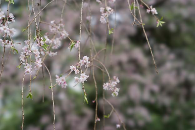 新宿御苑【桜:八重紅枝垂】4
