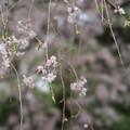 Photos: 新宿御苑【桜:八重紅枝垂】4