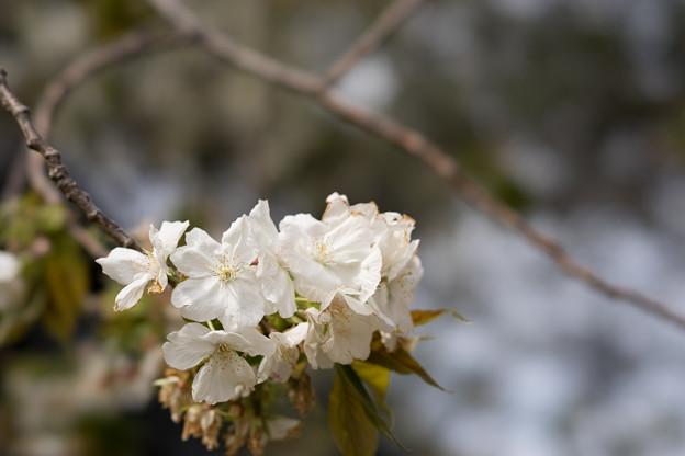 新宿御苑【桜:太白】3