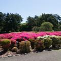 神代植物公園【つつじ園の眺め】4