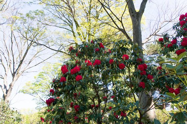 神代植物公園【石楠花:ネリアーブ】1