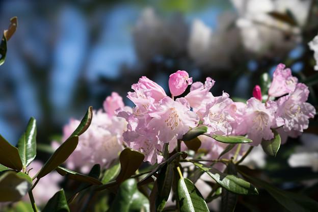 神代植物公園【石楠花:ツクシシャクナゲ】2