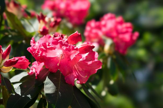 神代植物公園【石楠花:マーキータズ・フレイム】2