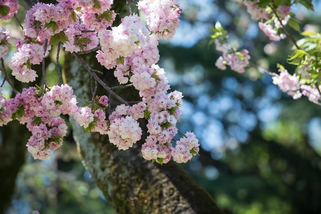 神代植物公園【桜:福禄寿】2